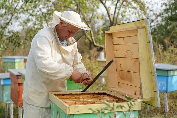 Un apicolture che raccoglia la propoli dall'alveare con il raschietto