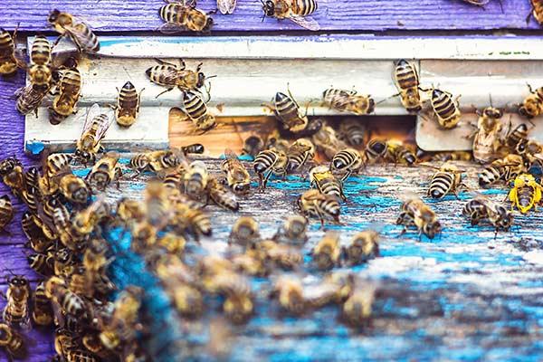 Le api trasformano la resina in propoli, che viene usata per proteggere l'alveare
