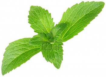 Stevia leaves - used as a sugar substitute in our chewing gum